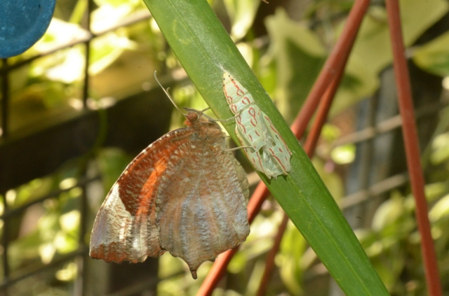 Newly emerged Tailed palmfly butterfly