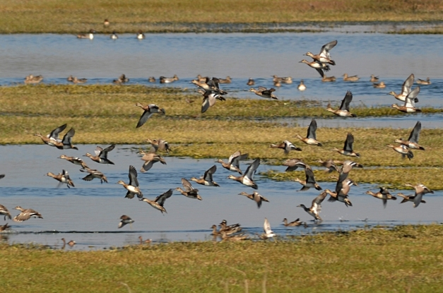 A flock of Garganey ducks
