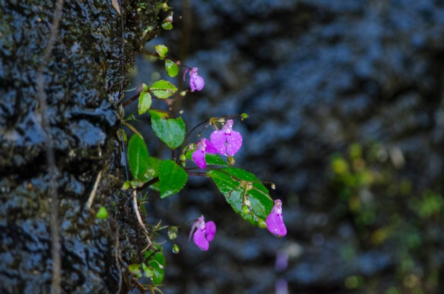 Impatiens oppositifolia- rosemary leaved balsam