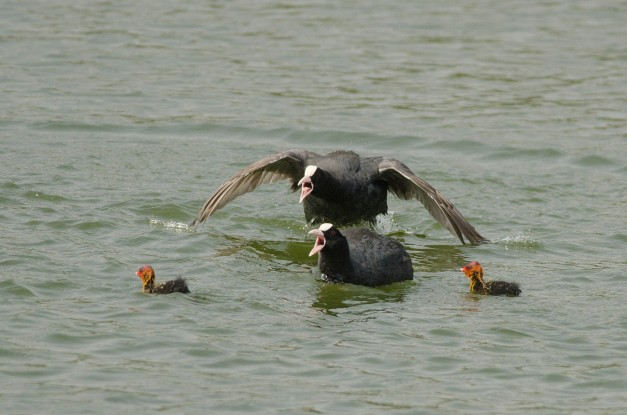 Common Coot chasing away a brahminy kite 1