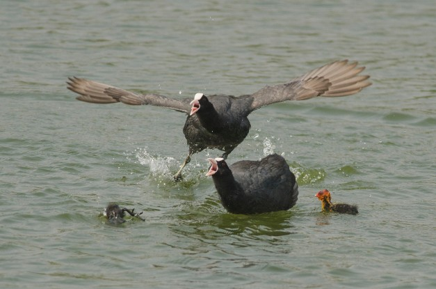 Common Coot chasing away a brahminy kite 2