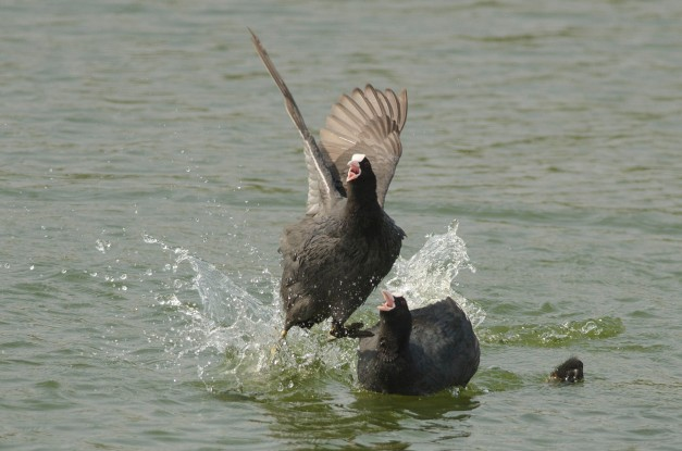 Common Coot chasing away a brahminy kite 3