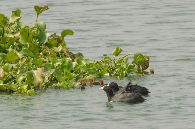 Common Coot chicks being taken to the safety of Water hyacinths