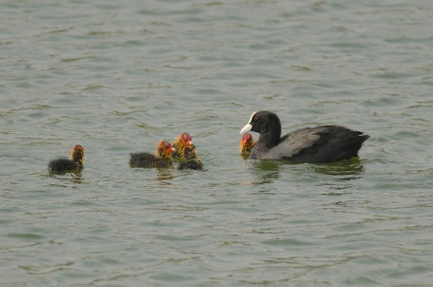 Common Coot chicks with a parent