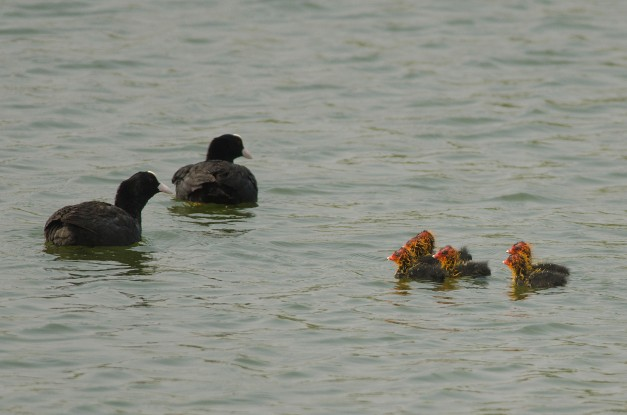 Common Coot chicks with the parents